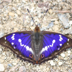 Emperors, Dukes and Hairstreaks, our butterfly year