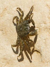 Marbled Shore Crab-2.jpg