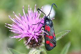 Six-spot Burnet Moth (2).jpg