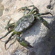 Green Shore Crab.jpg