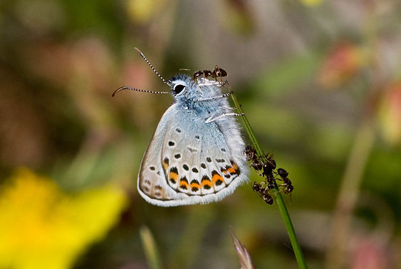 Sp25 Silver-studded Blue caernesis (m) (with ants).jpg