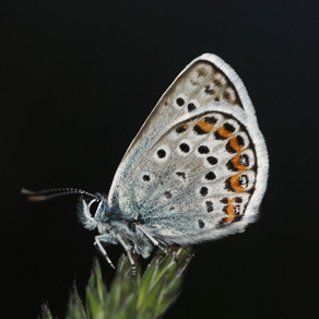 Hunting Silver-studded Blues in the dark on Great Orme!
