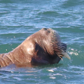 Wally the Walrus at Tenby: a once-in-a-lifetime chance to appreciate such a majestic animal