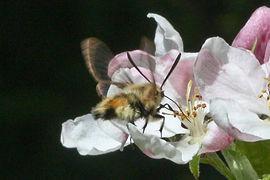 Garden Moths Narrow-bordered Bee Hawkmot