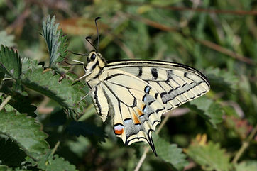 Swallowtail (gorganus) (2).jpg