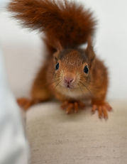Das Eichhörnchen Notizbuch 'Felix' als schöne Geschenkidee
