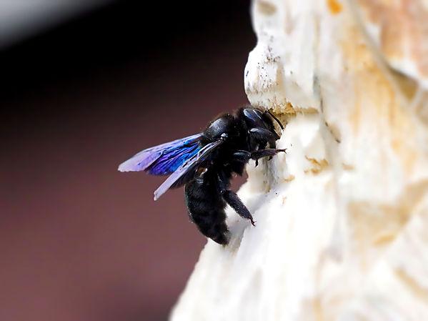 carpenter-bee-4179189_1.jpg