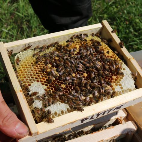 Checking mating hive