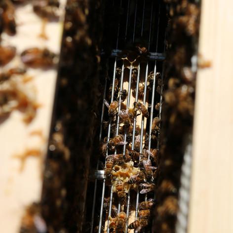Bees above queen excluder.