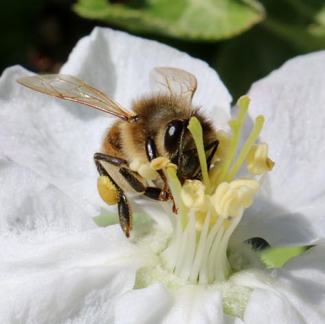 Honey bee in apple blossom