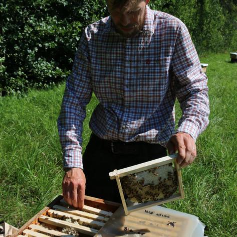 Checking mating hive.