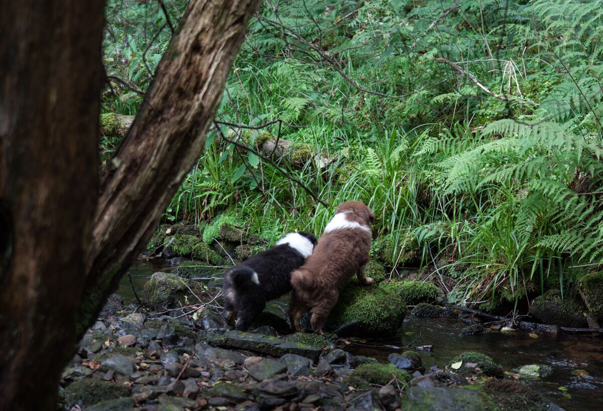 Rafter Creek Welpen