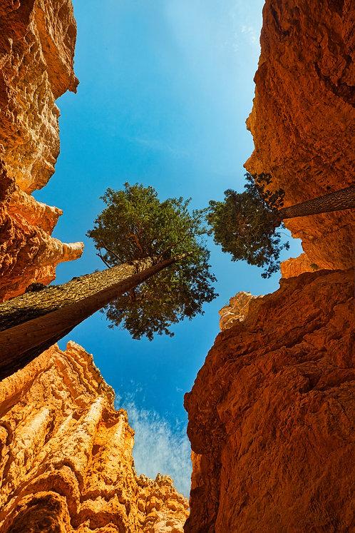 Bryce Pine Trees