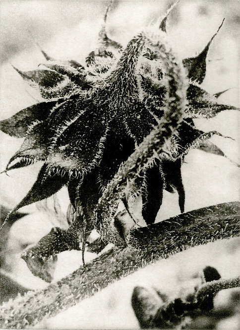 Sunflower in Frost