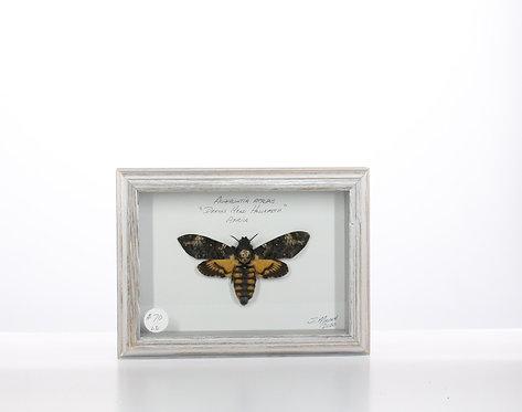Death' Head Hawk Moth