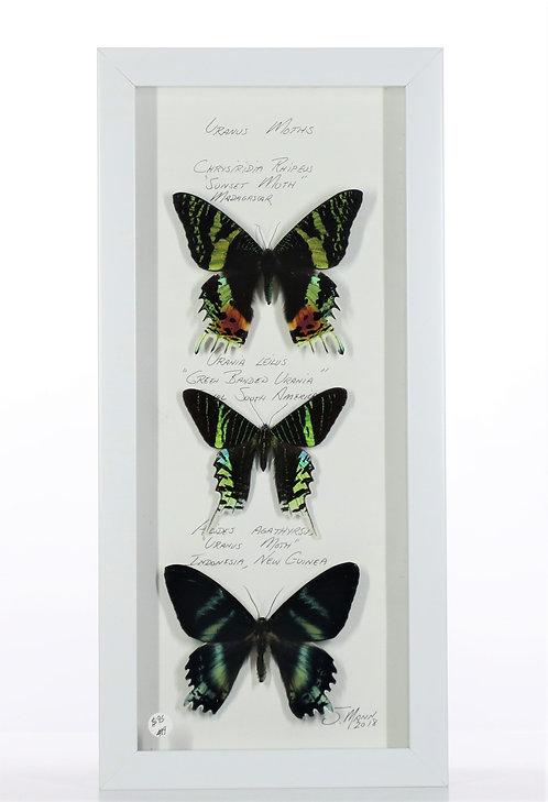 Uranus Moths