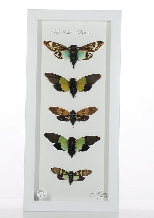 Asian Cicadas