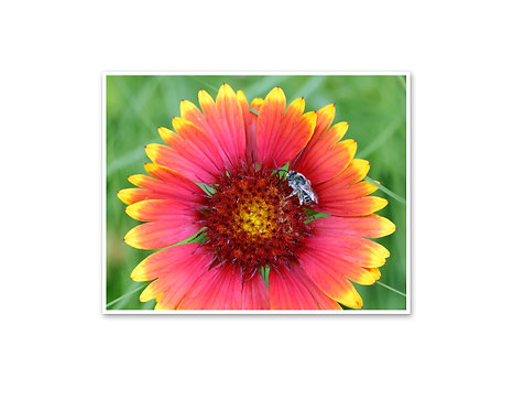 Red Blanket Flower with Bee