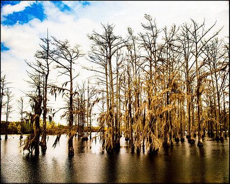 Mississippi Mangrove (color)