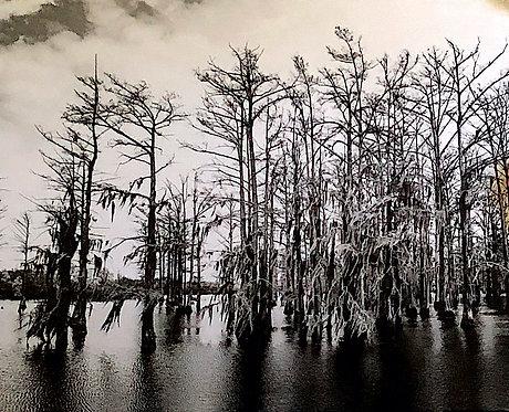 Mississippi Mangrove (black and white)