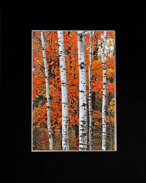 Row of Birches