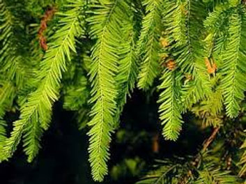 Bald Cypress - 25 Tree Packet