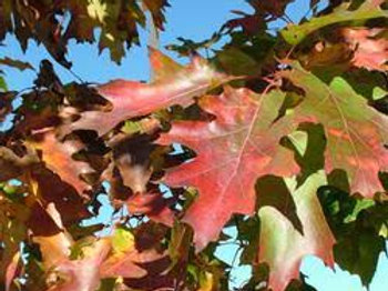 Northern Red Oak - 25 tree packet