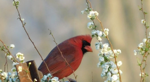 Cardinal in Wildflowers