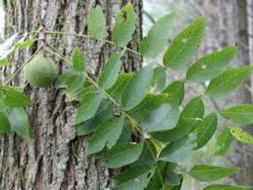 Black Walnut - 25 Tree Packet