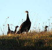 eastern wild turkey.jpg