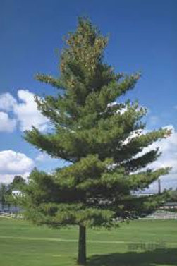 Eastern White Pine - 25 Tree Packet