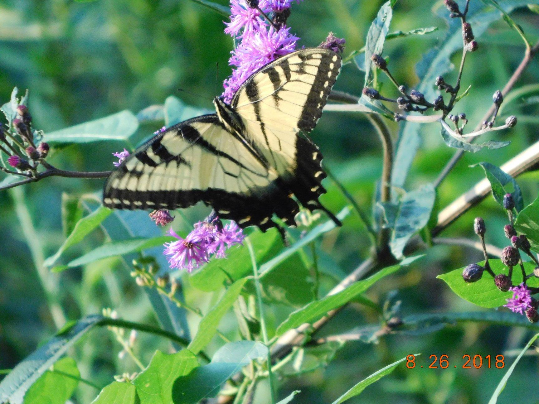 DP swallowtail