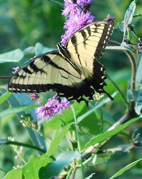 DP swallowtail.jpg
