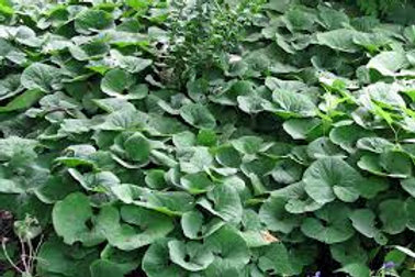 Wild Ginger Ground Cover - 25 per packet