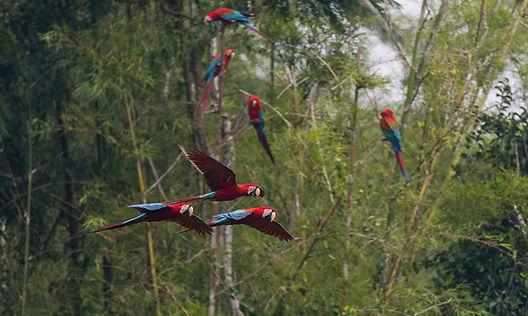 Macaw Clay Lick, Peru