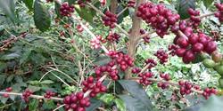 Caffe Kayanza