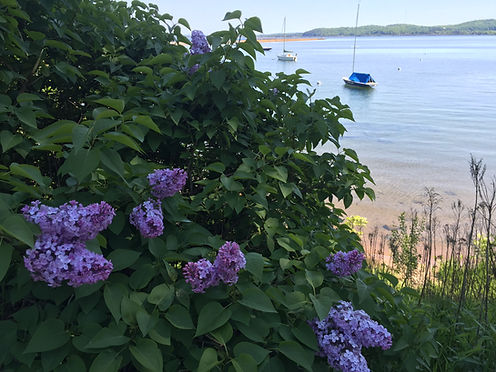 Lilacs on the bikepath Lower Harbor.