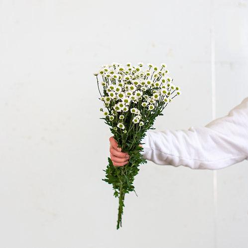 Spray Mums Santini - White