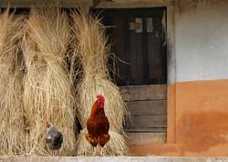 chickens and straw_terrymadsen
