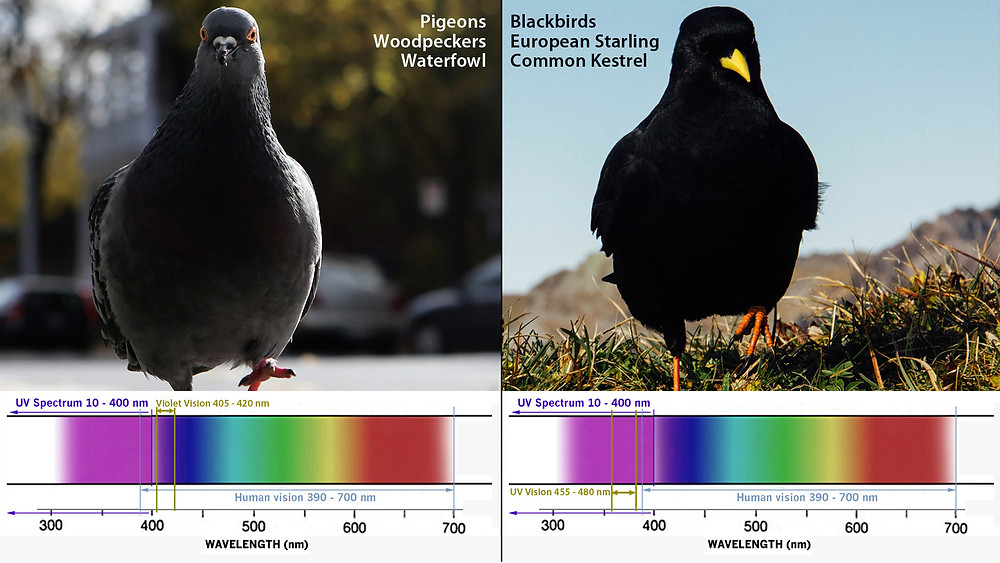 Violet-vision and Ultraviolet-vision bird species.