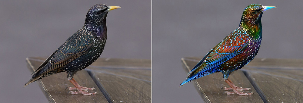 Starling seen with UV and human vision