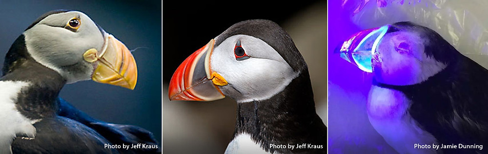 Puffin bills image