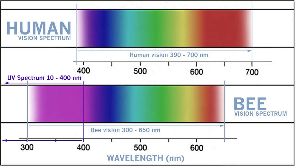 Bee versus human UV vision infographic