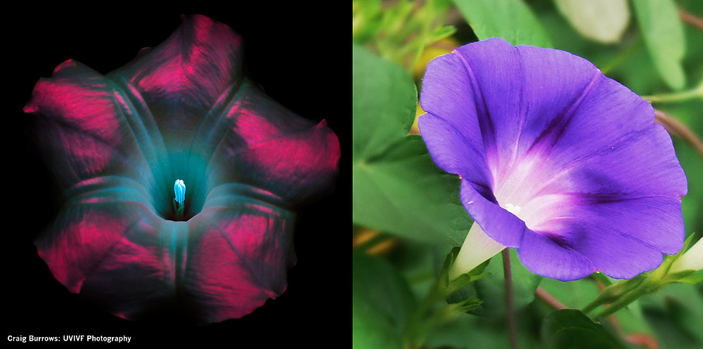 UV and normal Morning Glory flower