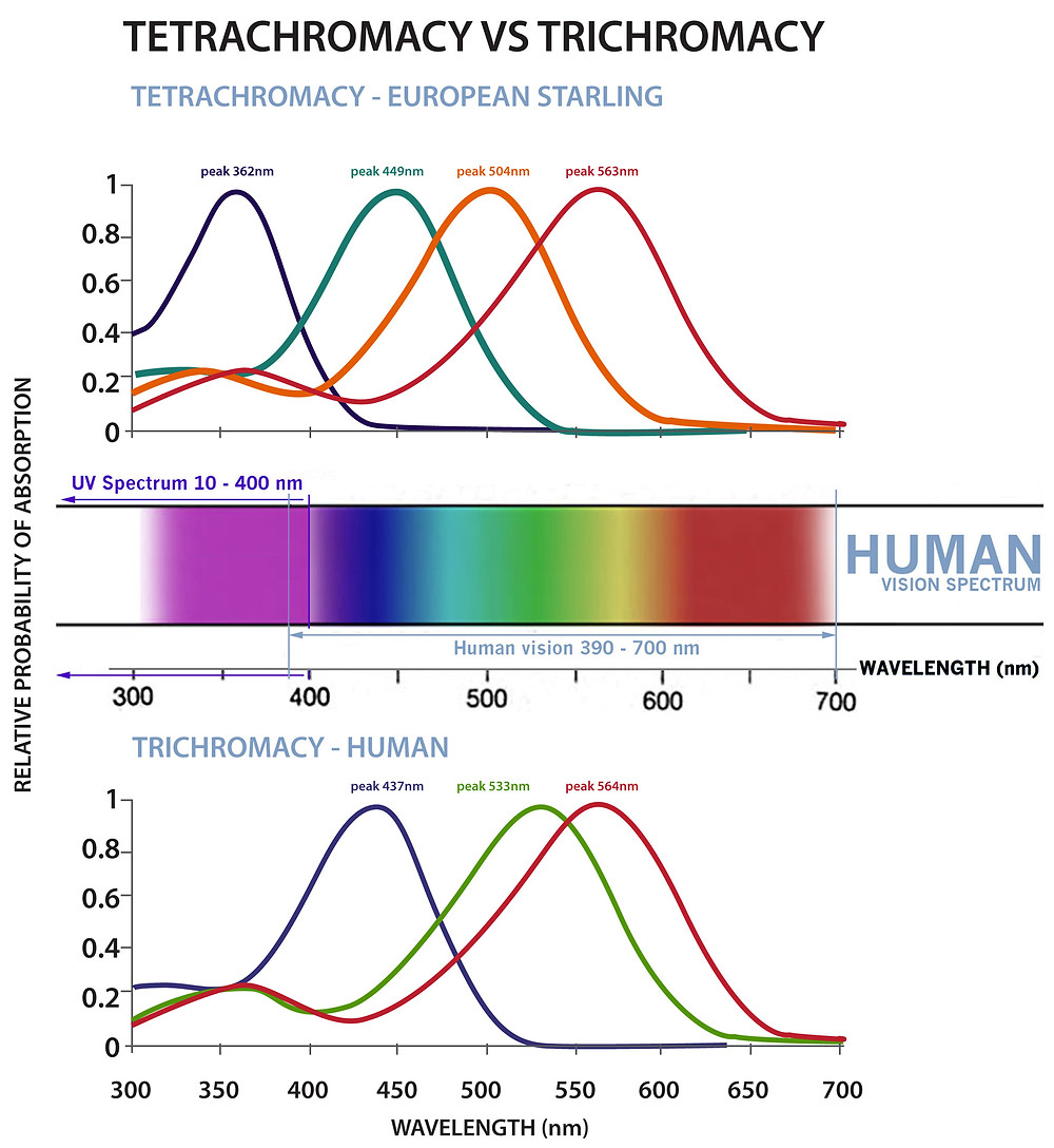 Trichromacy Vs Tetrachromacy diagram