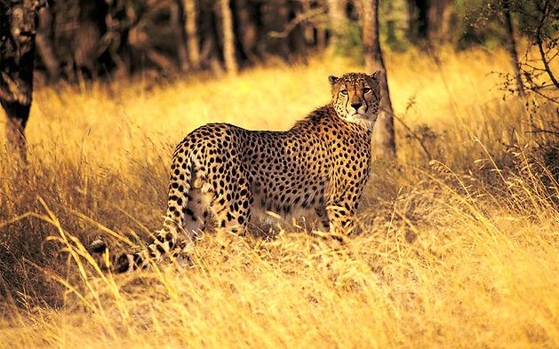 Leopard Serengeti Parc in Tanzania