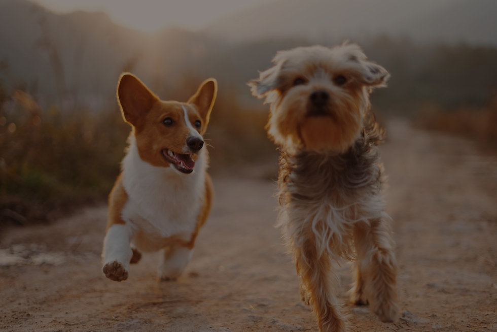 Two delicious dogs running in the sunshine.