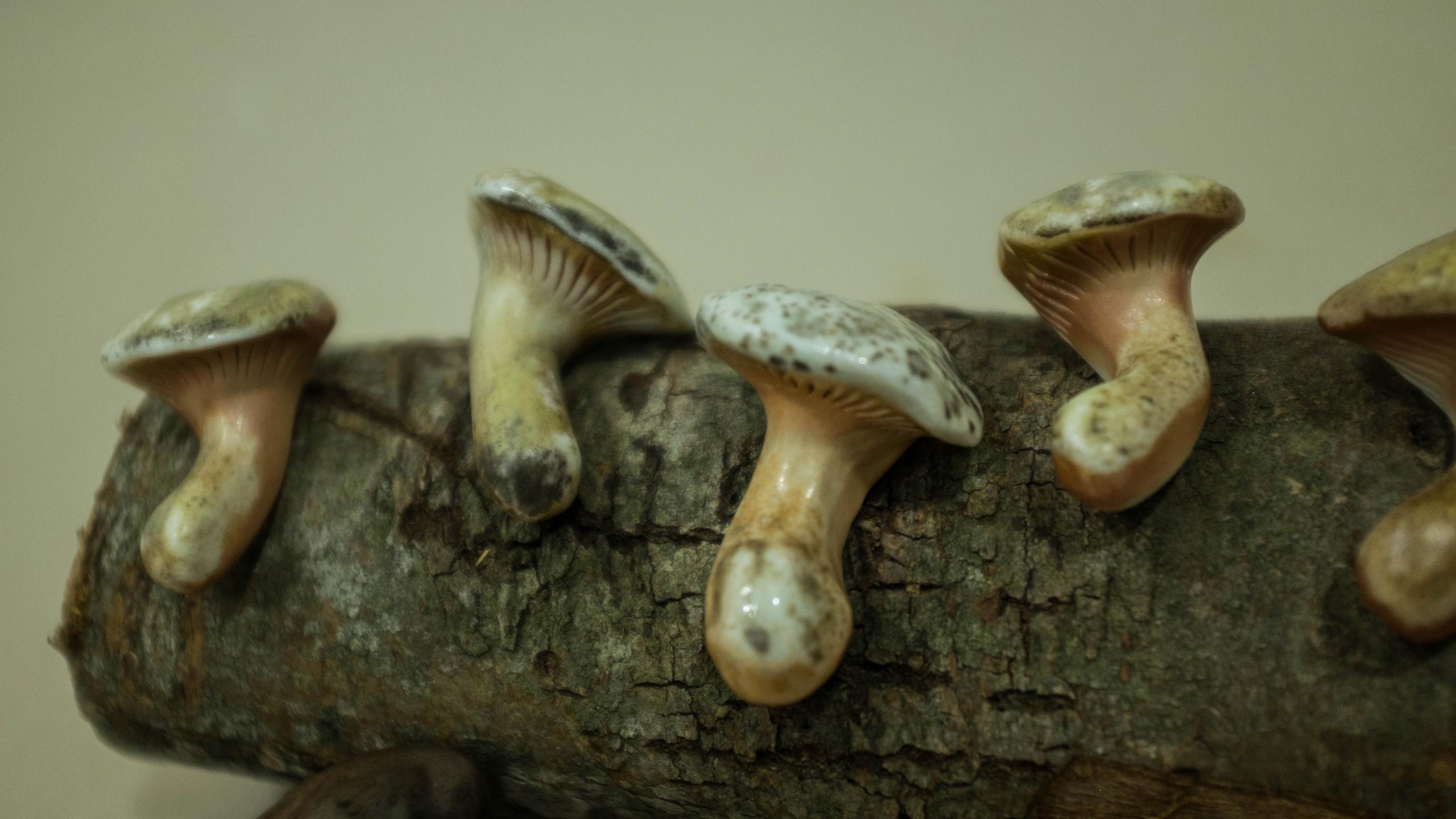 貴藥材半生香菇