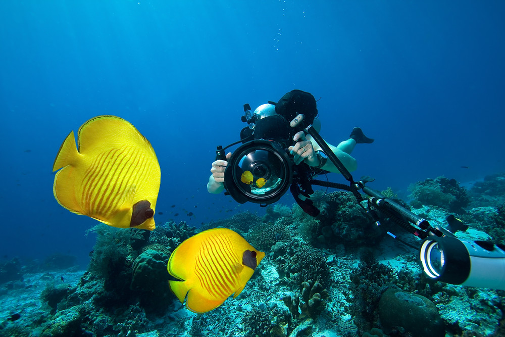 Two yelllow fish underwater being photographed by a diver.