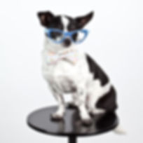 dog wearing cat eye glasses